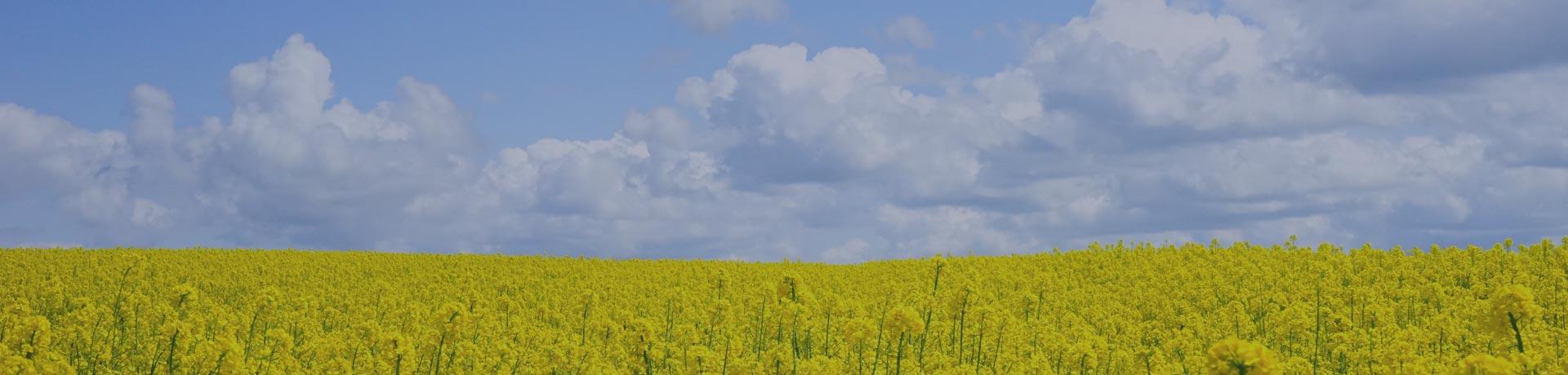 rapeseed fields